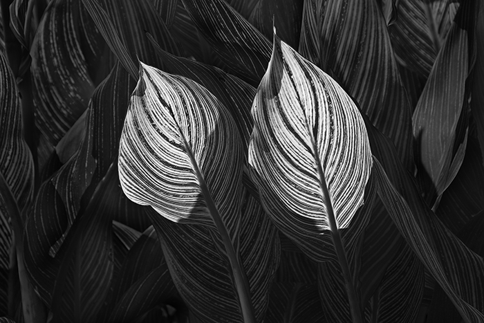 Two Backlit Canna Leaves
