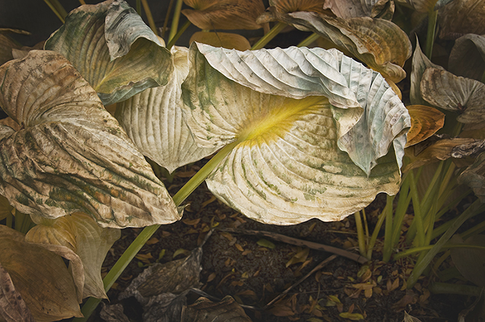 Folded Hosta Leaf