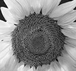 Russ Martin - Sunflower Click for more Images